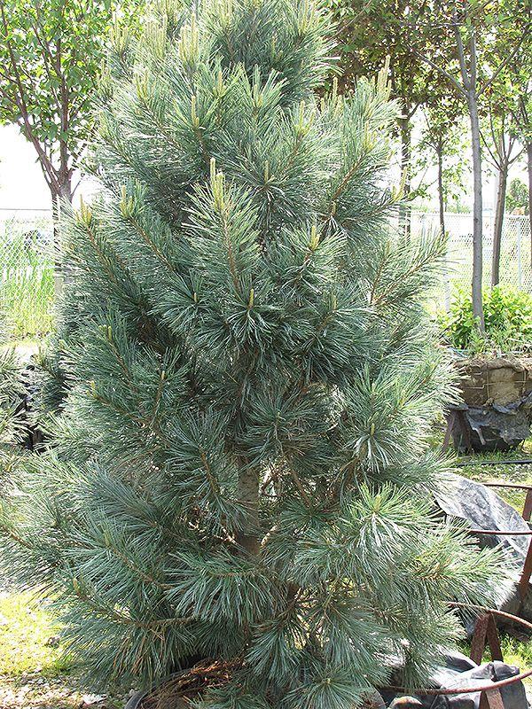 Vanderwolf's Pyramid Pine (Pinus flexilis 'Vanderwolf's