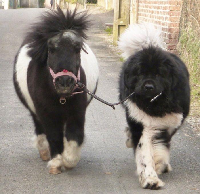 Мини-лошади давно с успехом заменяют собак-поводырей.