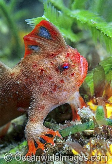 HandFish, a cousin to the angler fish.  Brachionichthys politus from Tasmania.  They walk rather than swim, using their modified pectoral fins to move about on the sea floor.