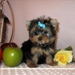 Yorkie Puppy.  One of these days, I might just get one of these.