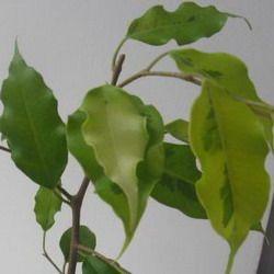 3. Голден Моник, Golden Monique — светло-зеленые листья с вкраплением темно-зеленого с выраженными волнистыми краями: