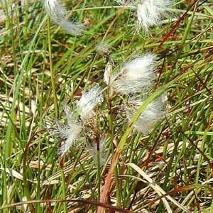 ERIOPHORUM ANGUSTIFOLIUM (Cotton Grass) UK
