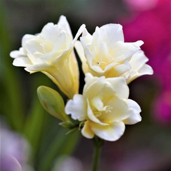 Freesia Bulbs Double Form Mix 15 Bulbs Etsy In 2020 Easy To Grow Bulbs Fragrant Flowers Flowers