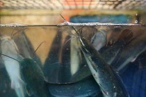 How to Raise Catfish