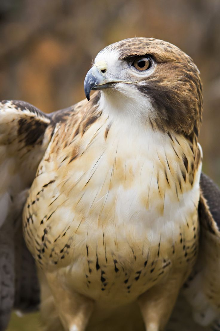 Red-tailed hawk                                                       …
