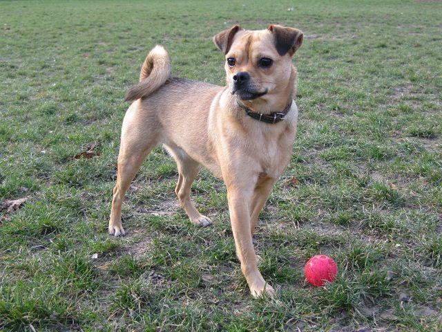 My dog Millicent stealing a ball. She is a pug mix. Half pug, half Mini Pinscher. A Muggin. A Carlin Pinscher.