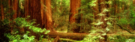 Muir Woods, Trees, National Park, Redwoods, California Photographic Print