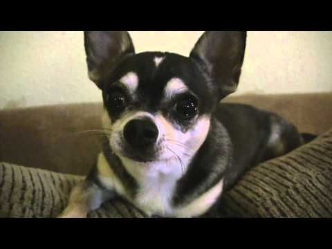 "talking chihuahua says, ""i love you!"" 