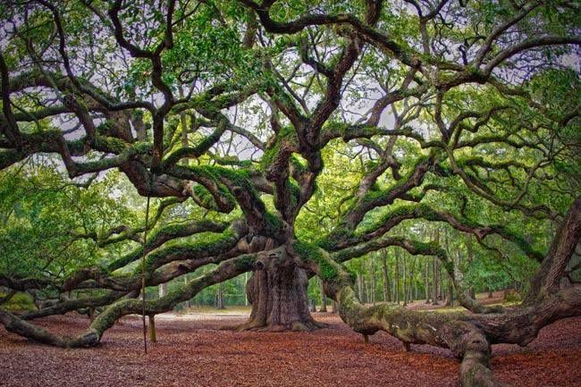 LIEU MYSTIQUE : L'Angel Oak (Chêne Ange en Français) - Virginie ...