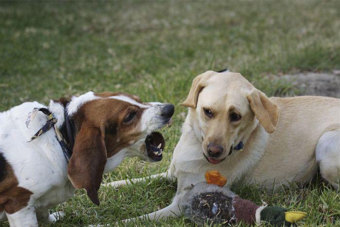 Aprender a manejar a un perro territorial Los dueños de perros son sabios para enseñar al perro a controlar reacciones exageradas con las personas que no están familiarizados en el parque, en la acera o en el hogar familiar. Corriendo con los dientes descubiertos mientras que va gruñendo ferozmente es …
