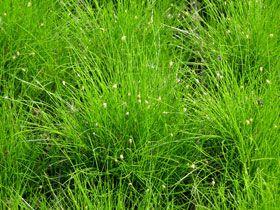 Болотница игольчатая - Болотница - Растения-оксигенаторы - Водные растения - Растения для водоемов - GreenInfo.ru