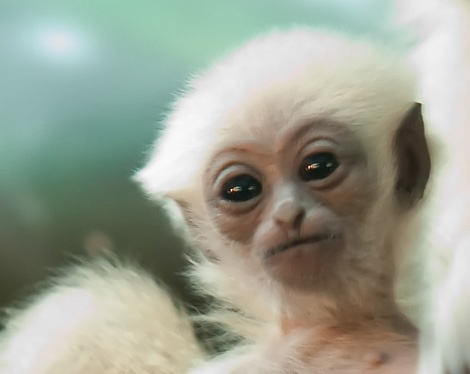 White-Handed Gibbon baby | The news for gibbons ...
