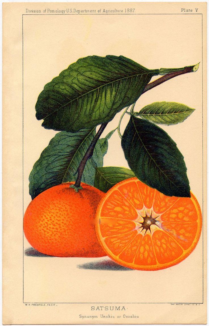 Instant Art Printable - Botanical Fruit - Oranges - The Graphics Fairy