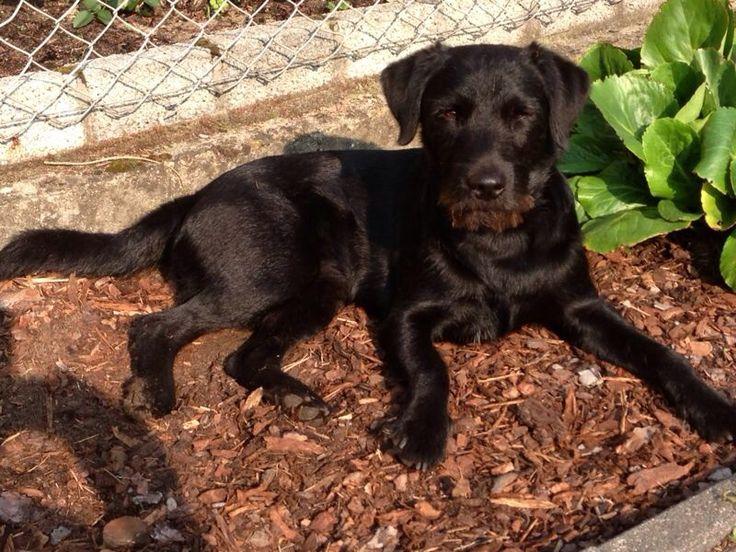 Labi/Schnauzer-Mix Chico Freches Ding, aber mit Platz an der Sonne ☀ Hundename: Chico / Rasse: Labi/Schnauzer-Mix      Mehr Fotos: https://magazin.dogs-2-love.com/foto/labischnauzer-mix-chico/ Foto, Hund, Sonne