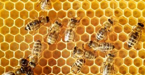 Un gruppo di studiosi dell'Università di San Francisco avrebbe individuato la causa della moria delle api che ha interessato in maniera drammatica gli alveari del Nord della California nel corso degli ultimi anni. La causa della morte delle api operaie e del loro allontanamento dagli alveari sarebbe un piccolo insetto in grado di insinuarsi nel loro organismo come un parassita.