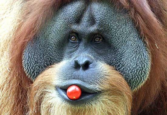 #Orango #scimmie #somiglianze #uomo #animali #natura #comportamenti
