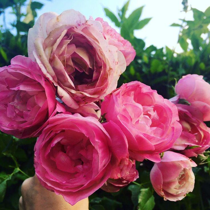 Wonderful #roses!!!
