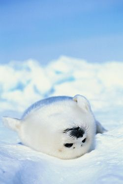 Harp Seal Pup (by PunkyBunky)