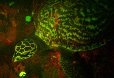 Hawksbill Fluorescence