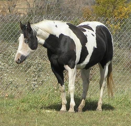 47 best images about Paint Horse on Pinterest   Beautiful ...