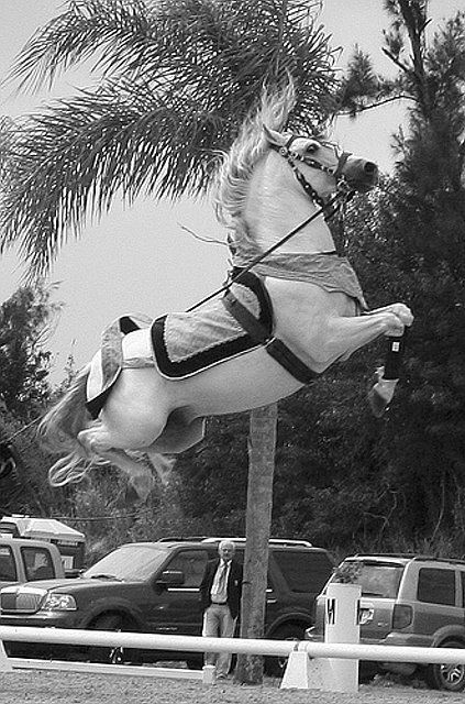Lipizzan reaching for the sky - looks exactly like a carousel horse.