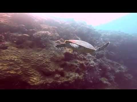 Turtle, Fiji. Diving - YouTube