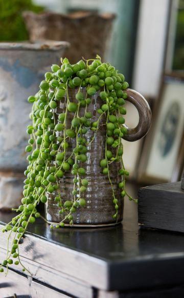 Sehr dekorativ lässt sich die Erbsenpflanze (Senecio rowleyanus) mit ihren kugeligen und fleischigen Blättern in Szene setzen