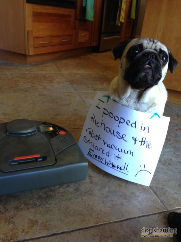 Cleaning up after thecleaner  Came home to find smeared poop all over my living room, a dirty robot vacuum, and a totally shameless pug.