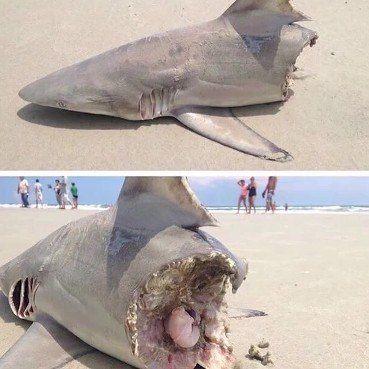 Giant Shark Bit In Half: Giant Shark VS Mega Shark Or Megalodon - Hoax Or Not FOR MORE VIDEO  http://topfishing.us/ #bassfishing  #fisheries  #fishingshop  #fishingtackleshop  #fishinghook  #lure  #reel  #fishingstore  #go fishing  #walleyefishing  #huntingandfishing  #bait  #tackle  #angler  #saltwater  #baitandtackle  #fising  #carpfish  #shimanofishing  #deepseafishing  #jig  #fishingknots  #livebait