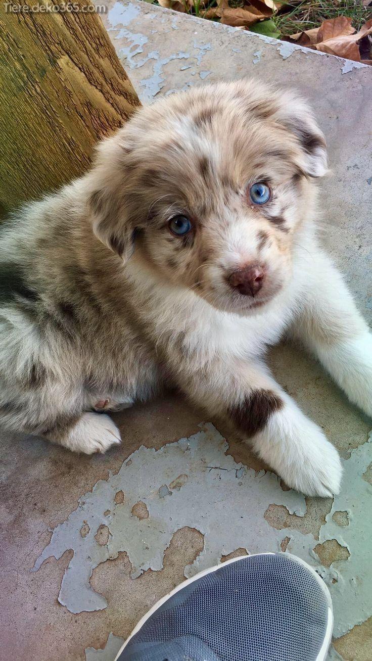 Grossartig Kleine Hunderassen Jenseits Von Zuckerig In 2020 Mit Bildern Hunderassen Aussie Welpen Hunde Rassen