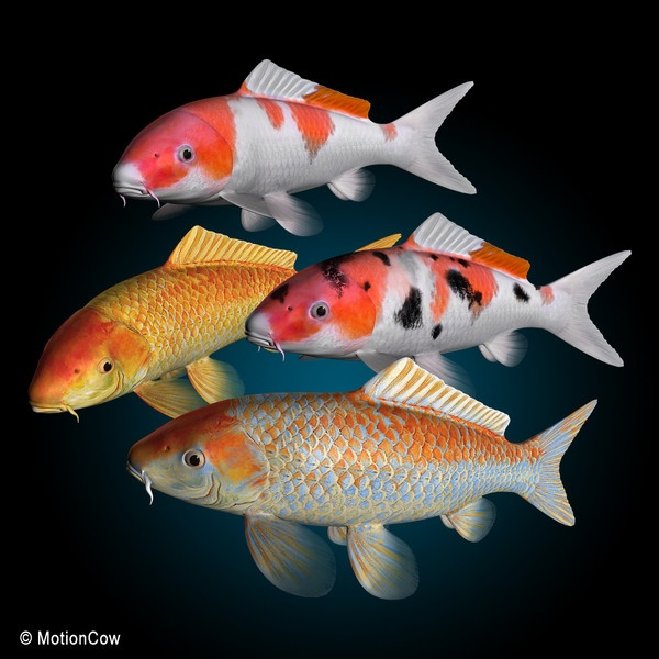 18 best images about fishy on pinterest for Wild koi fish