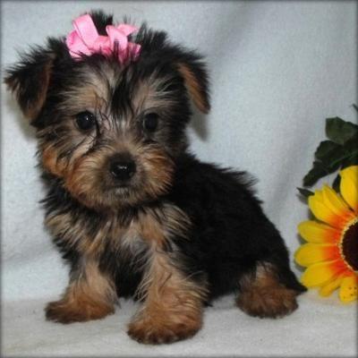 small dog adoption houston texas | ... Yorkie Puppies For Adoption, Houston, TX (Harris) - PennySaverUSA