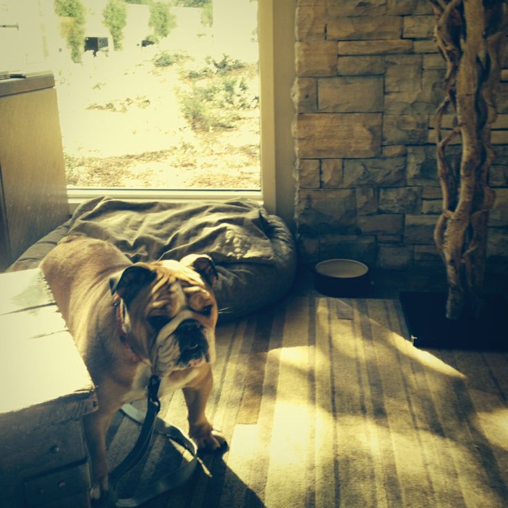 Meet Roxy The Lovable Bulldog That Greets Visitors At Carmel Valley Ranch Ranchpet Friendly Hotelscalifornia