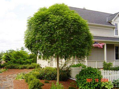 Fraxinus exelcior 'Nana', Dvärgask. Dvärgform av ask, 2-4 m.  Friskt gröna blad.  Tål kust- och vindklimat.  Zon III.