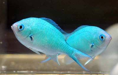 BLUE - GREEN CHROMIS SHOALING marine fish safe with coral and frags LPS and SPS