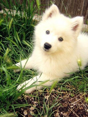 samojeed of witte kees pup?