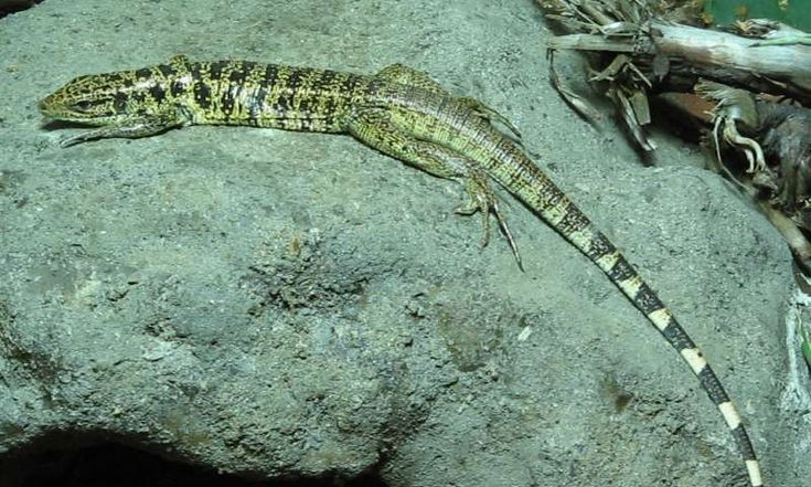 Climate change could threaten reptiles by reducing the number of bacteria living in their guts, new research suggests. Scientists from the University of Exeter and the University of Toulouse found that warming of 2-3°C caused a 34% loss of microorganism diversity in the guts of common lizards (also known as viviparous lizards). They found this affected survival rates.