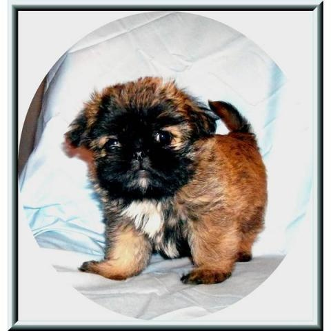 9 best molly images on pinterest brussels griffon doggies and dogs a hybrid doghalf brussels griffon and half shih tzu solutioingenieria Image collections