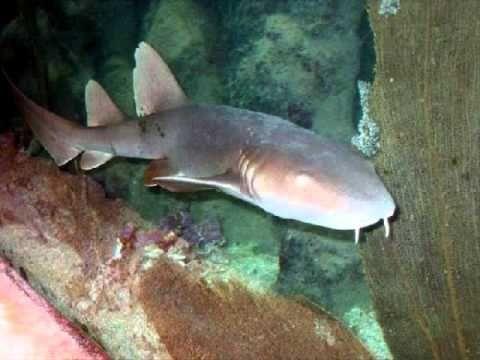 list of sharks part 1 - YouTube hexanchiformes