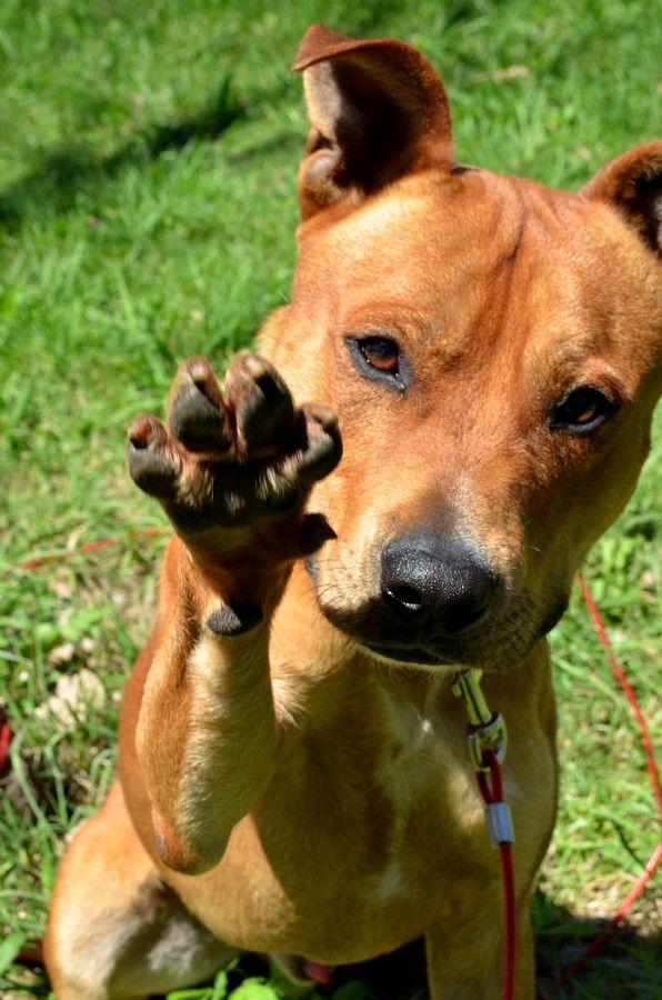 Ace Staffordshire Bull Terrier Mix Fur Babies Pinterest