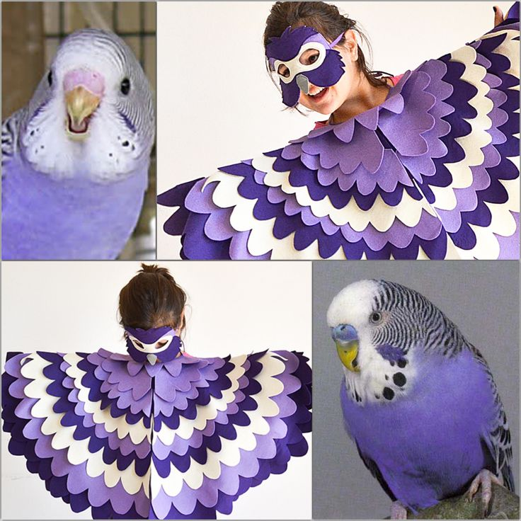 Budgerigars and fisher's lovebirds in lilac, purple and violet colours are not native to nature but are special breeds.
