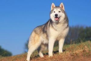 Rasbeschrijving hond Siberische Husky | Informatie over Siberische Husky