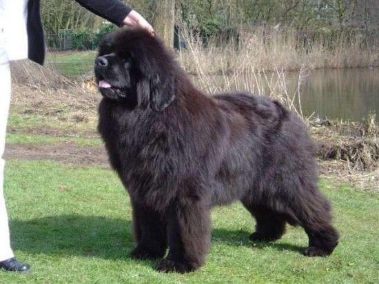 Newfoundland They Re Basically Little Bear Sized If