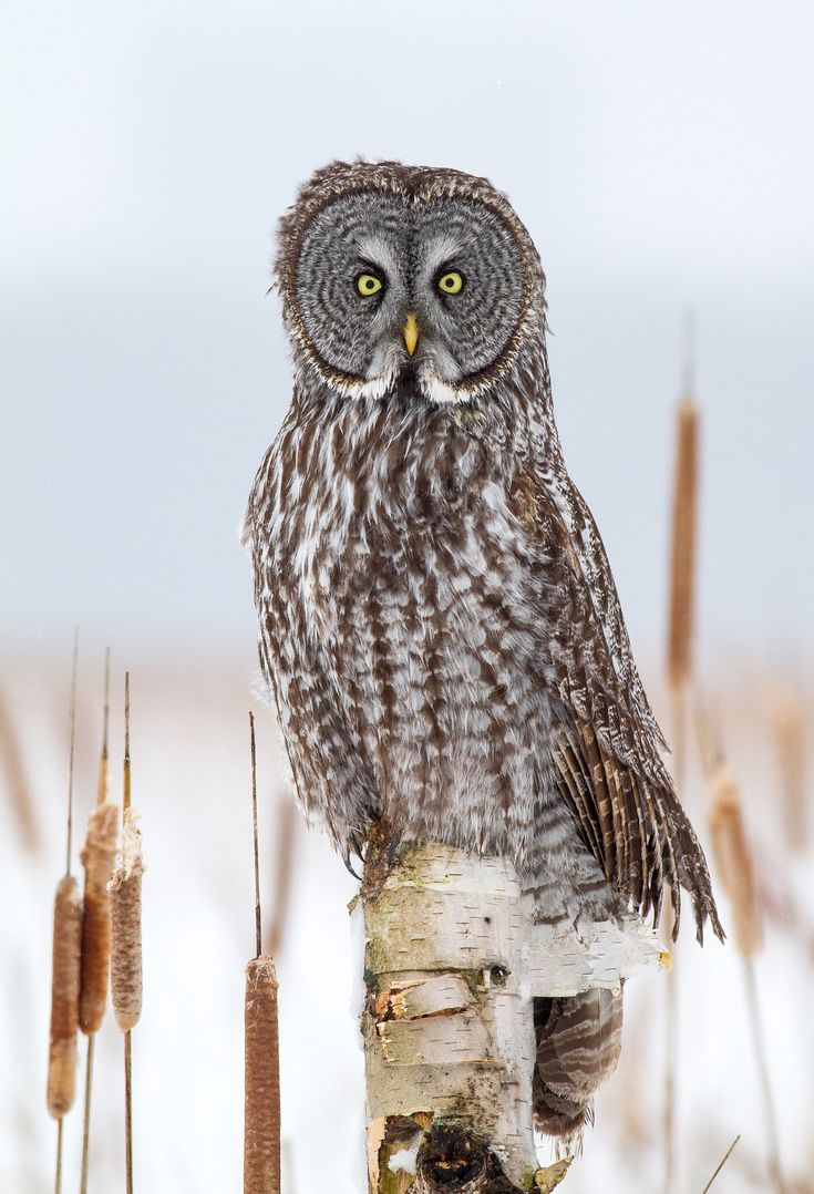 Great Gray Owl on Birch - A Great Gray Owl scans the frozen marsh for voles. Ottawa, Ontario.