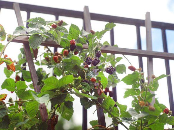 How to Tame Your Blackberry Bramble RambleGardens Ideas, Pruning Blackberries, Blackberries Vines, Trellis Ideas, Growing Blackberries, Blackberries Bush Trellis, Blackberries Trellis, Blackberries Bramble, Thornless Blackberries