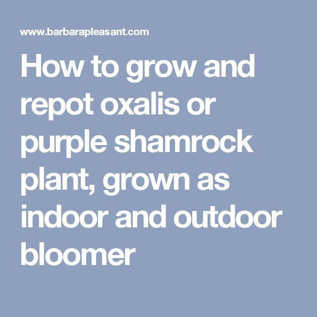How to grow and repot oxalis or purple shamrock plant, grown as indoor and outdoor bloomer