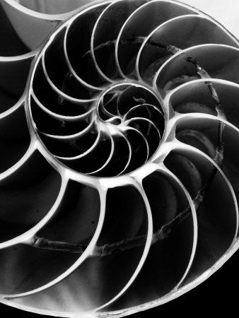 Edward Weston Photography | The chambered nautilus is named after the compartments in its shell ...