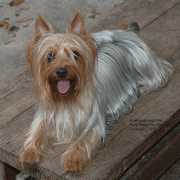 silky terrier temperament 17 best australian silky terrier puppies images on 7107