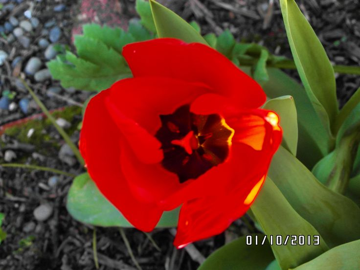 Tulip in my garden