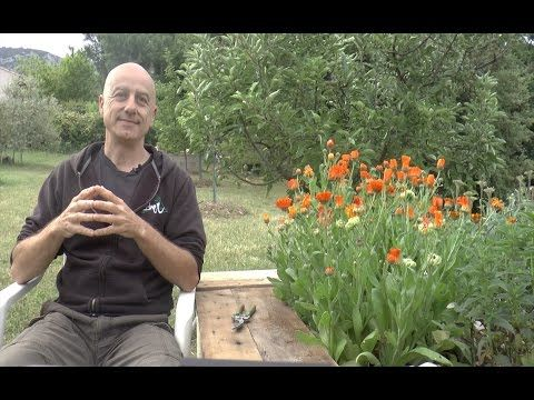 Le souci (Calendula officinalis) sous toutes ses coutures, en vidéo !
